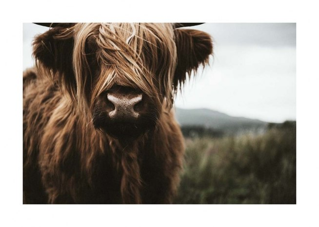 Highland Cattle Poster / Animales con Desenio AB (3542)