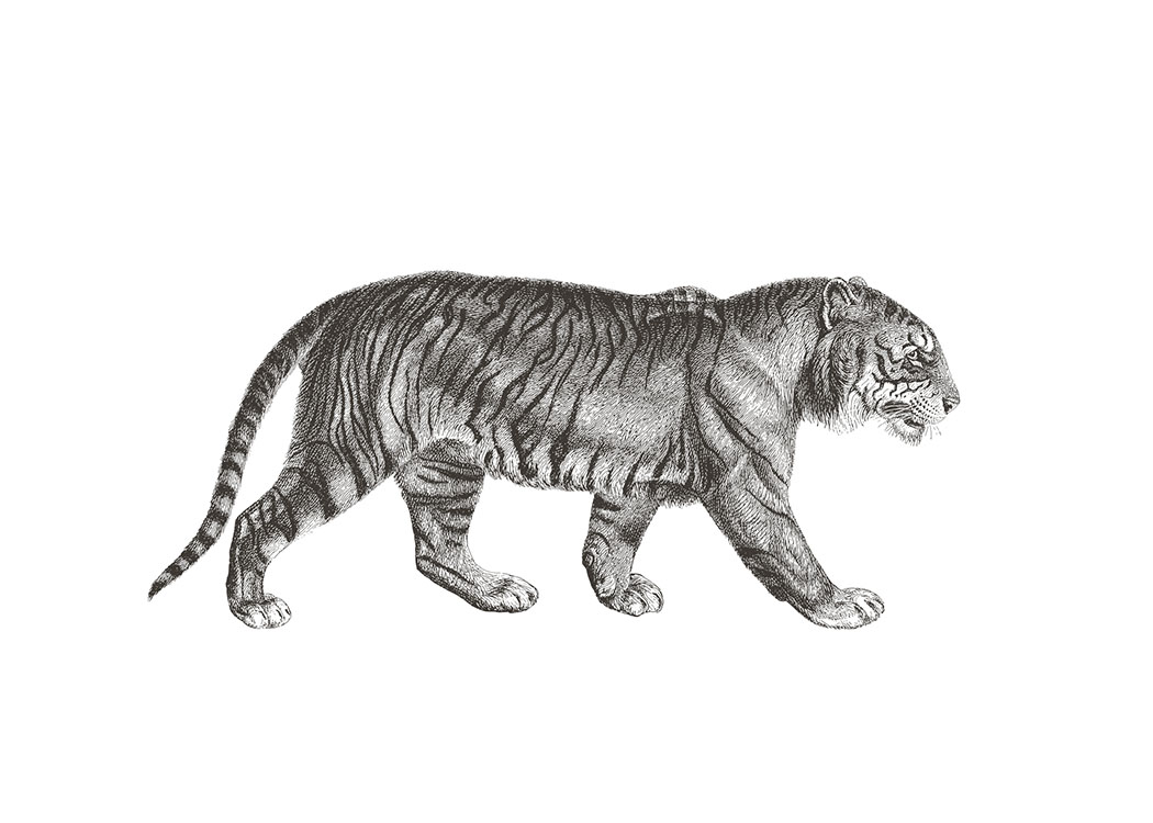 Tiger Illustration, Poster / Blanco y negro con Desenio AB (7032)